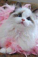 Image result for Cute White Fluffy Kittens