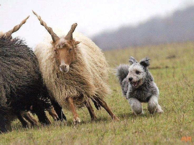 herding -  hungarian pumi