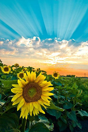 ~~field of dreams ~ sunset over sunflower field, Minnesota by Erik Lewandowski~~