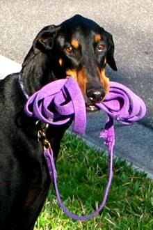 Florida Doberman Rescue: Happy Endings