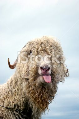 White Wooly Goat Poking out Tongue Royalty Free Stock Photo