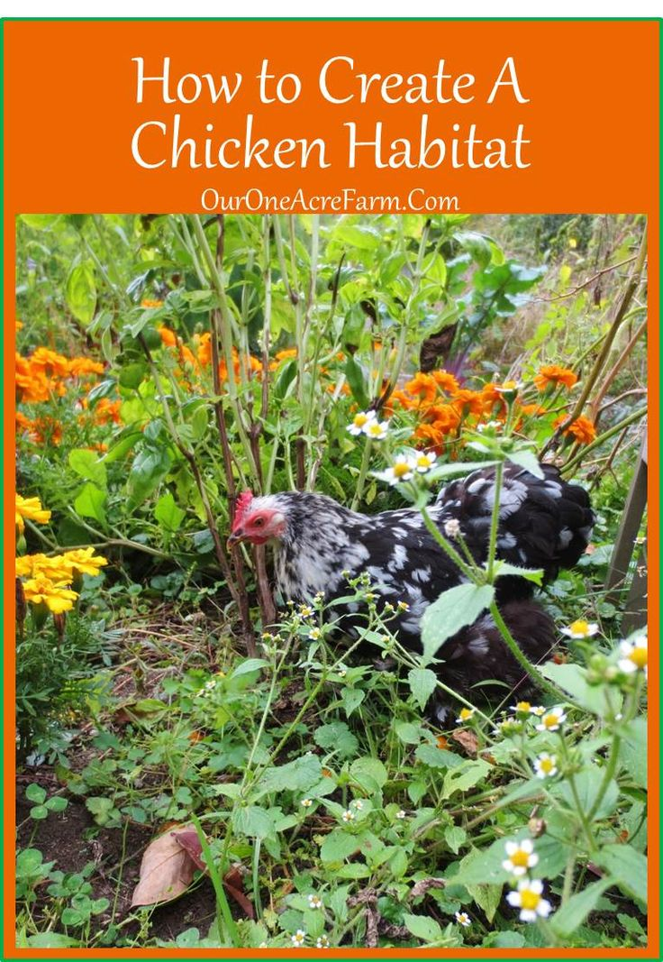 How to Create a Chicken Habitat - based on info about the habits and habitat of the chicken's wild relatives, the jungle fowl. Also tips on how to make the most of a small space.