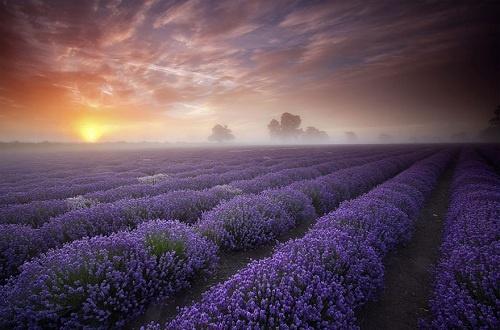 Lavender fields in UK