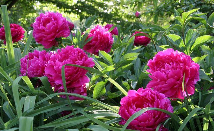 Die gefüllte rosa Bauern-Päonie (Paeonia officinalis 'Rosea Plena') zählt zu den Stauden-Päonien