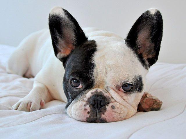 bulldogge_franzoesische_hund, French Bulldog