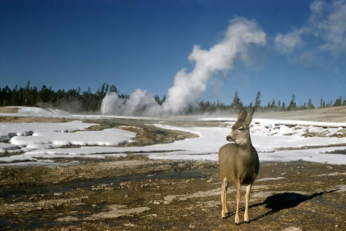 A mule deer. Watching. Waiting.