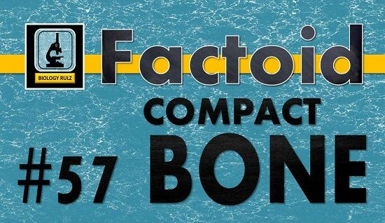 The hard, outer layer of your #bones is #compact (or #cortical) #bone. It is denser than the inner (#cancellous or #spongy) part of the bone. Compact bone gives your #skeleton its smooth, white appearance and it gives your skeleton its strength and durability. Compact bone accounts for 80% of the mass of your skeleton. Compact bone is covered by a tough layer of #connective #tissue called the #periosteum. The #tendons that connect your #muscles to your bones are attached to the periosteum.