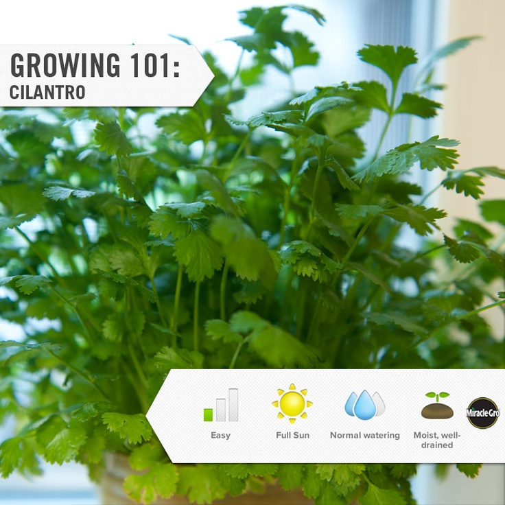 cilantro growing made easy