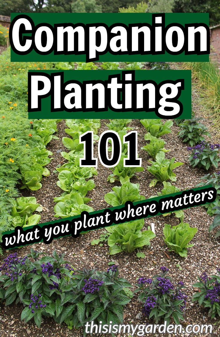Companion Planting 101 – What you should plant next to each other to maximize yo…