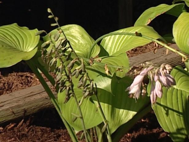 Get the scoop on hosta flowers, including when hostas flower and which varieties pack a fragrant punch.