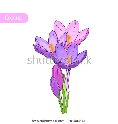 Crocus saffron inflorescence bouquet. Beatutiful blooming purple violet spring flowers on white background. Botanical floral vector illustration. Hand drawn isolated reusable design object element.