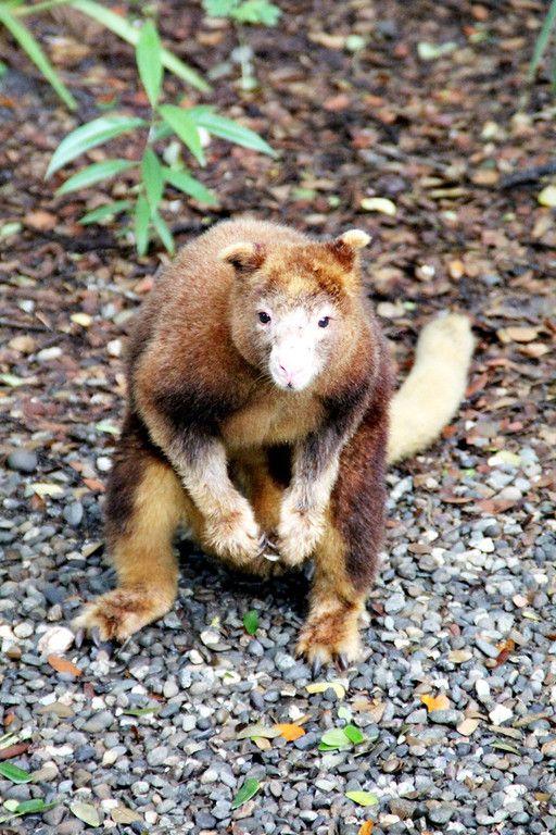 A Matschie's Tree Kangaroo (Dandrolagus matschie)... native to Papua New…