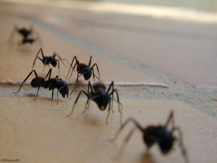 L'astuce naturelle pour lutter contre les fourmis à la maison
