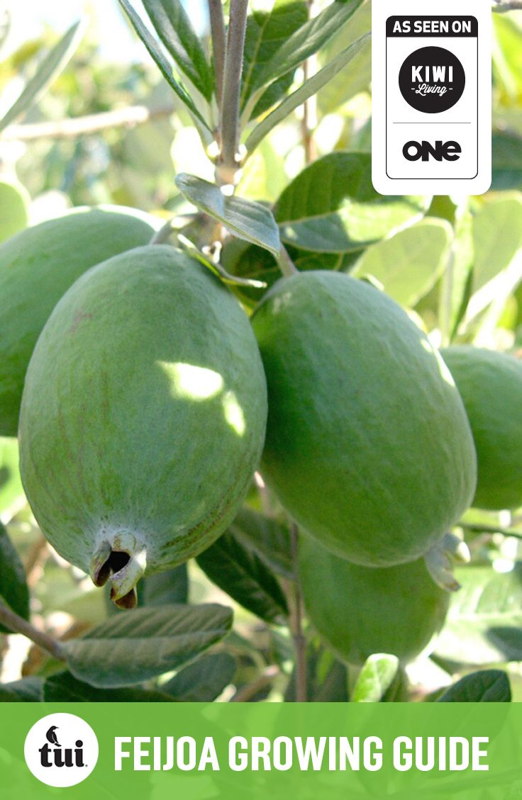 Tui Garden | Feijoa Growing Guide #TuiGardenProjects