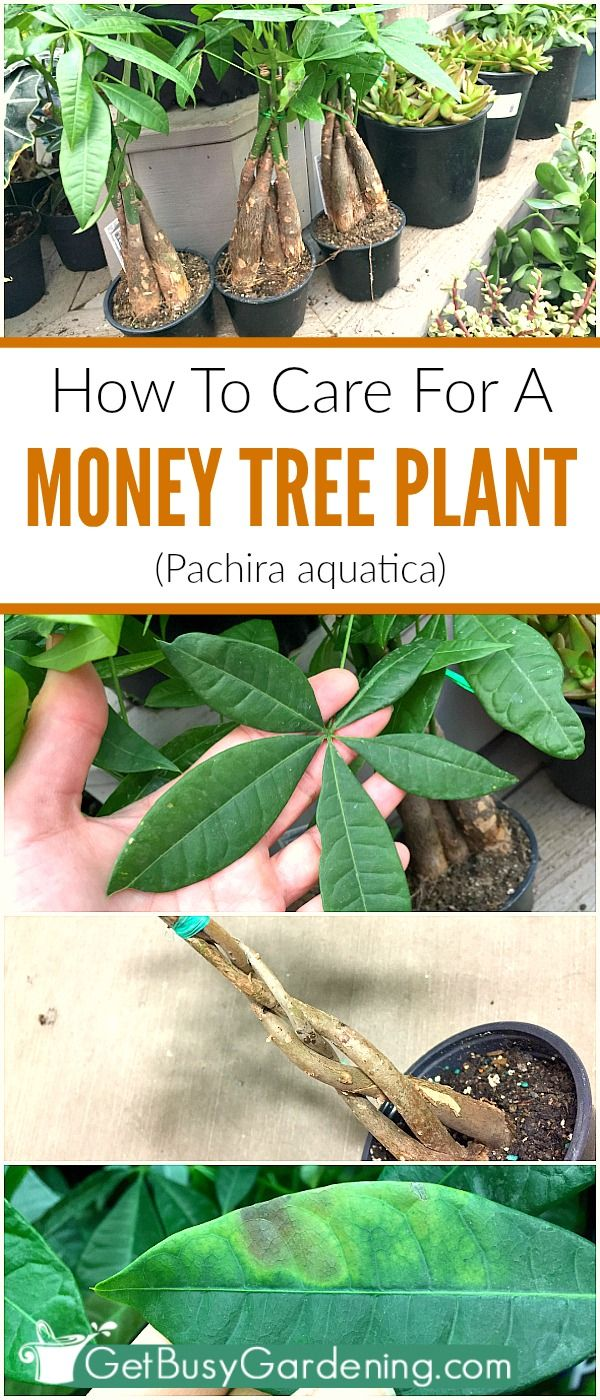 Money plant trees (Pachira aquatica) are super easy to grow, low maintenance houseplants. They are perfect for growing in low light conditions, and aren't too fussy. Here's everything you need to know about money plant care, so your plant will thrive for years to come.