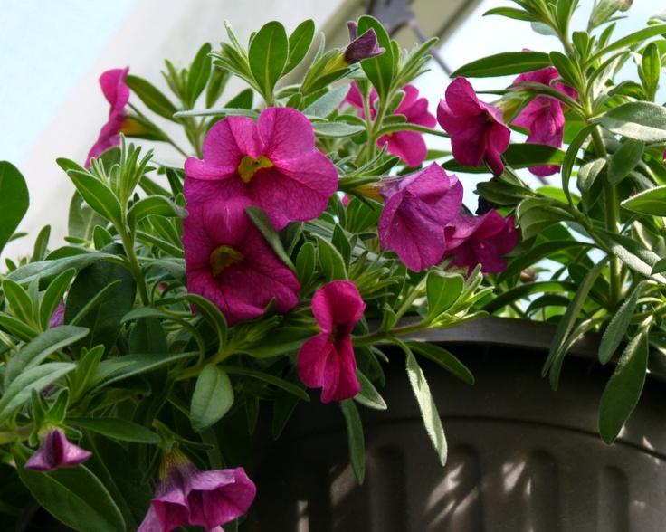 Calibrachoa hybrida 'Million Bells Brilliant Pink'