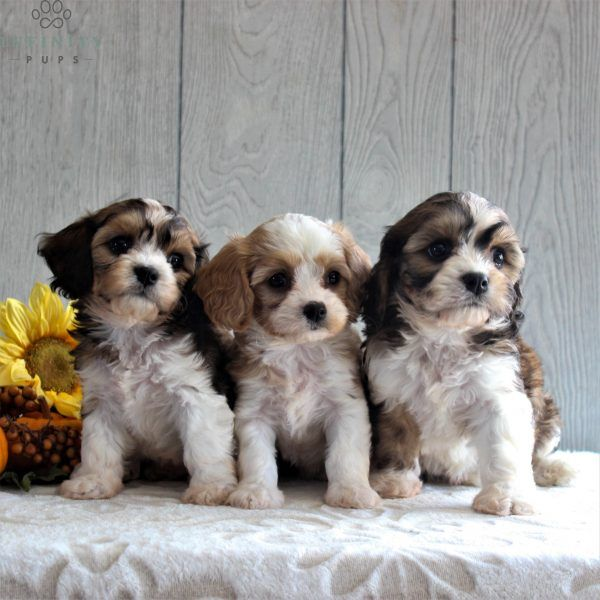 Samantha F1 Infinity Pups In 2020 Cavachon Puppies Cockapoo Puppies For Sale Cute Dogs And Puppies