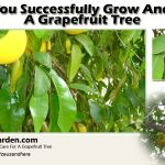 How Do You Successfully Grow And Care For A Grapefruit Tree