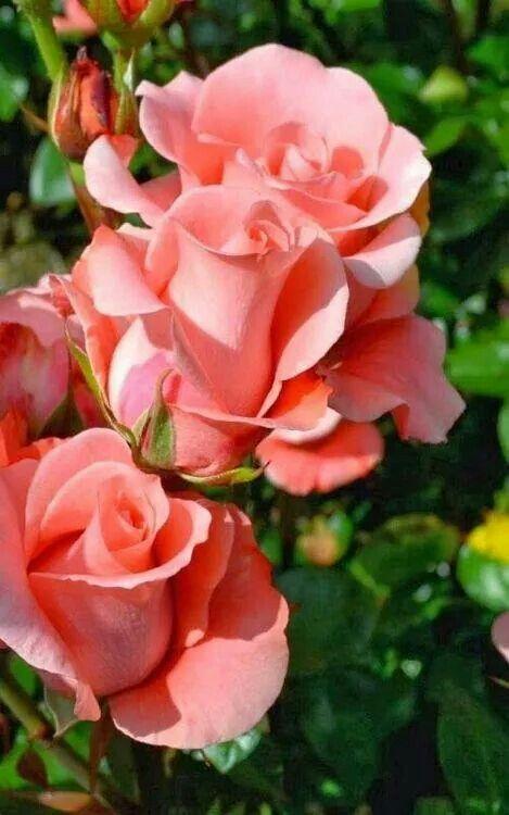 Sonia Roses- Beautiful Salmon Color!!!