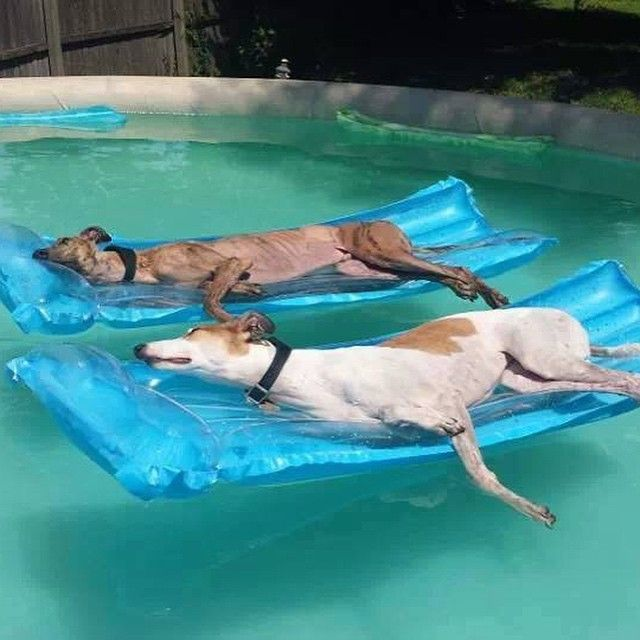 Dogs just Chillin' in the Pool⭐ #DogsLife