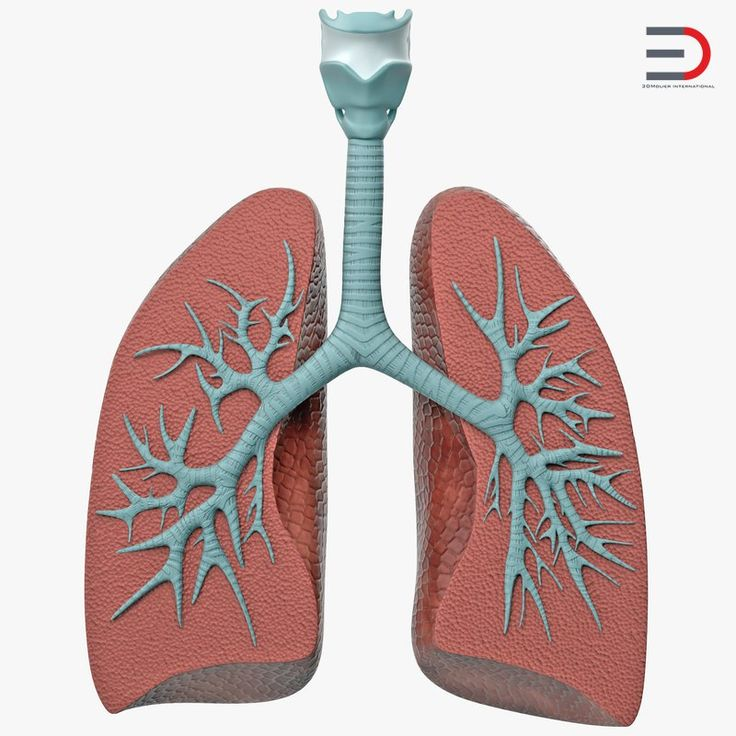 3D Lung Anatomy Dissection Model model