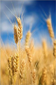 Healthy whole grains. It's all about the quality of the grain, there is no reason to avoid grains.