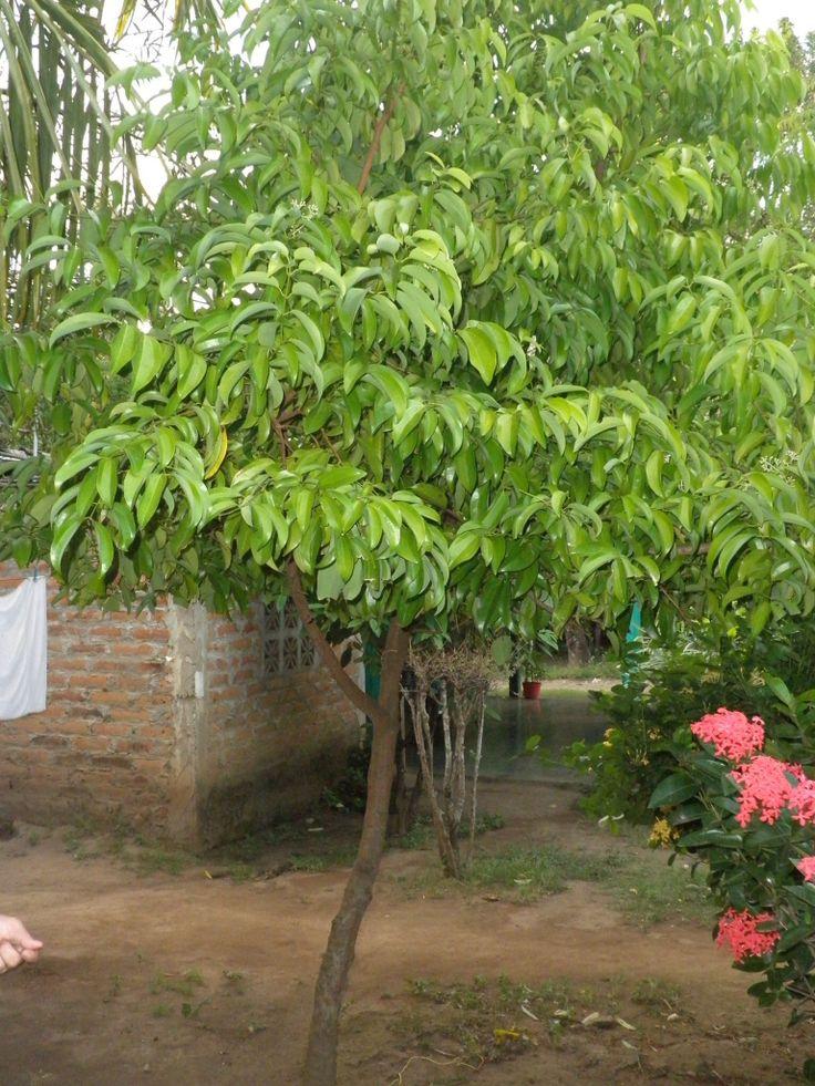 Arbol de canela. Cinnamon tree