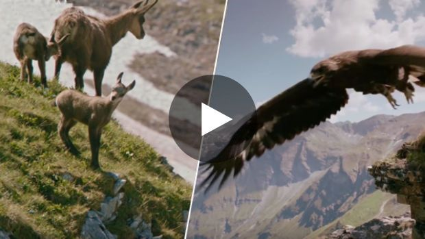 Une équipe de tournage a réussi à capturer une scène impressionnante en pleine nature : un aigle royal en train...