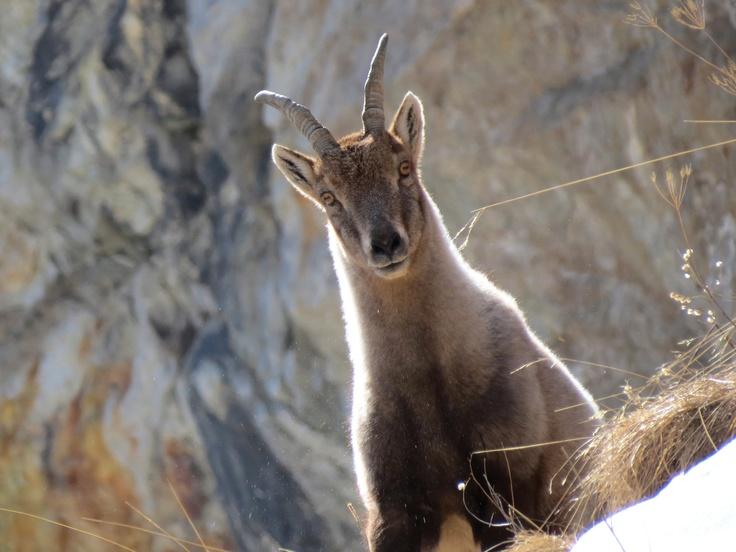 Ibex, Valle di Canè, Vallecamonica - Adamello Park