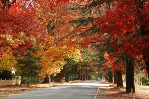 Bright in Victoria. Australia. What an absolute delight to walk down this roadway in Autumn.....