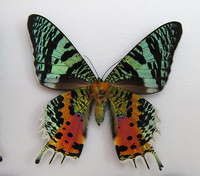 Chrysiridia rhipheus, Sunset Moth. (Photo by user Anaxibia on Wikimedia.)