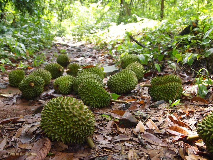 29 best grow amp assess durian images on pinterest