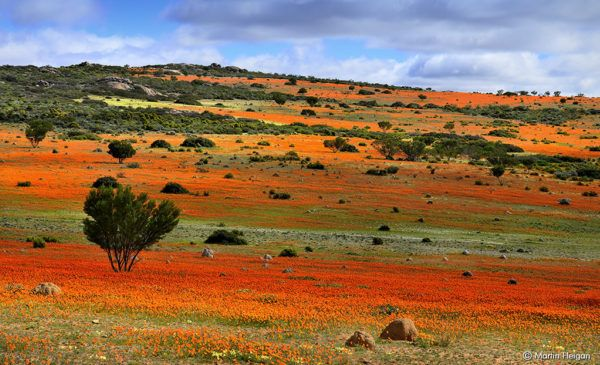 When spring sets in, the floral displays in the Northern Cape's Namaqualand attractadmirers and photographers from all over the world.
