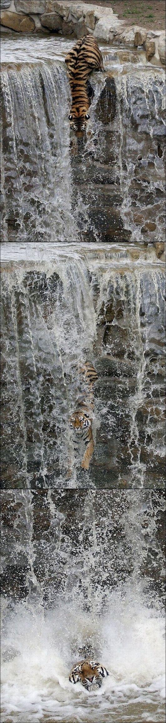 Tigers take the plunge!