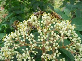 Der Bienenbaum (Euodia hupehensis) bietet eine wertvolle Nahrungsquelle in mageren Zeiten. - © Jaesch