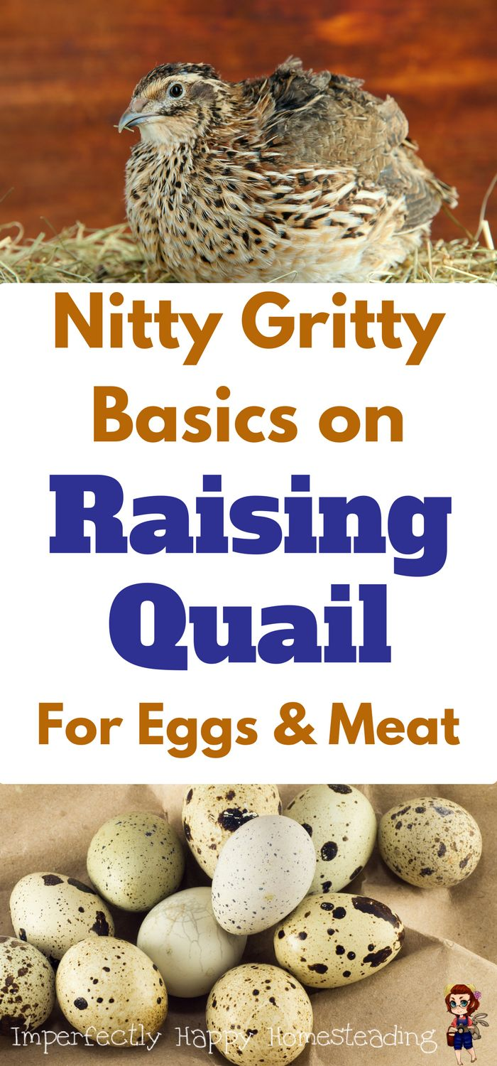 Raising Quail on your homestead or backyard farm for eggs an meat - what you need to know.