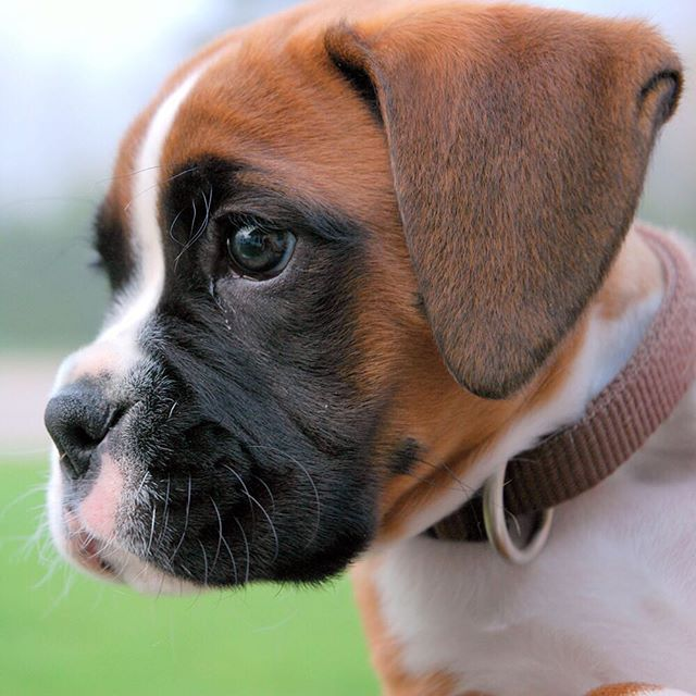 Wide-eyed puppy filled with wonder. #Boxer