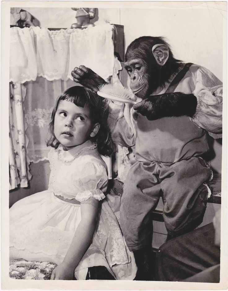 "Verso: ""19-9-57. THEY CALL HI[M] THE 'TEASIE WEASIE' OF THE MONKEY WORLD.. BILLIE SMART'S CIRCUS - I. NEWCASTLE.. 'KASPER' the four year old Chimp settles down to prove his prowess in the art of hairdressing - with YASMIN the four year old grand-daughter of the famous Billie Smart.. 'Kasper' the Chimp and Yasmin were born into the 'Big Top' on the same day and both celebrate their fourth birthday this November.. They are now to be seen at Newcastle-on-Tyne - on tour.. JSS/KEYSTONE…"