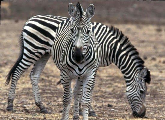 Laporan Penelitian: Penjelasan Baru Garis-Garis Zebra Dataran Equus quagga