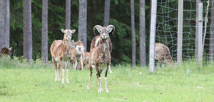 Wildgehege Hufeisen - Mufflons stammen ursprünglich aus Sardinien und Korsika und sind die Vorfahren unserer Hausschafe. Die auch als Wildschafe bezeichneten Mufflons haben ein glattes Fell das im Sommer rötlich braun gefärbt ist.