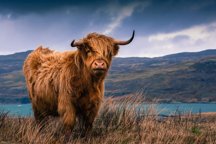 Highland Cow by james morris
