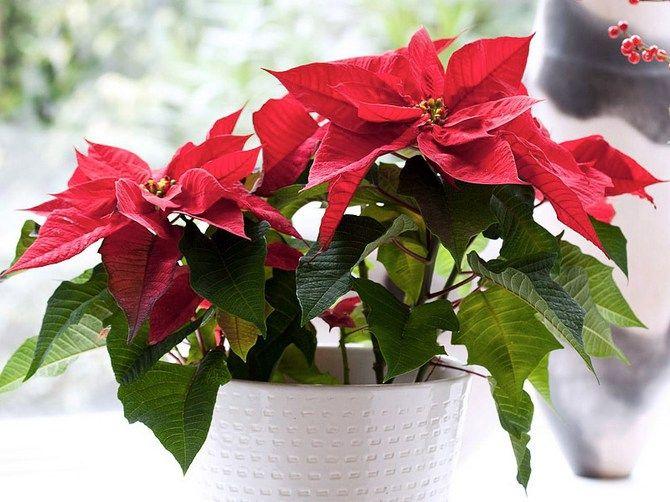 Пуансеттия или «рождественская звезда»