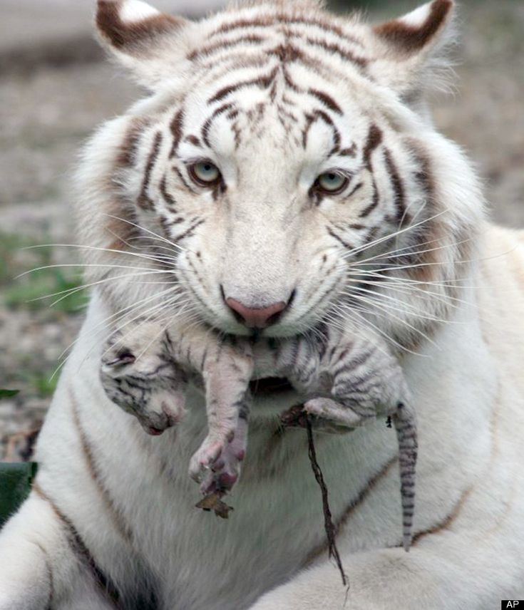 Female white albino tiger and her baby