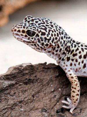 17 Best images about Leopard Geckos/other reptile stuff on ...