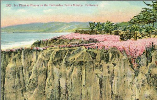 Page 1 :: Ice Plant in Bloom on the Pallisades, Santa Monica, California :: Historic Postcards. http://digitallibrary.usc.edu/cdm/ref/collection/p15799coll77/id/208
