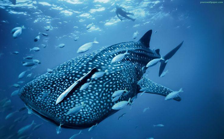 Fondos de escritorio, animal, azul, pescados, océano, mar, ballena, HD Wallpapers, Fondos de pantalla ancha