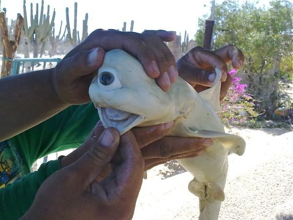 Albino one-eyed cyclops shark; photo courtesy of Pisces Sportfishing. You never know what you might hook or find while out on the water, but you'd never expect to encounter these bizarre-looking denizens.
