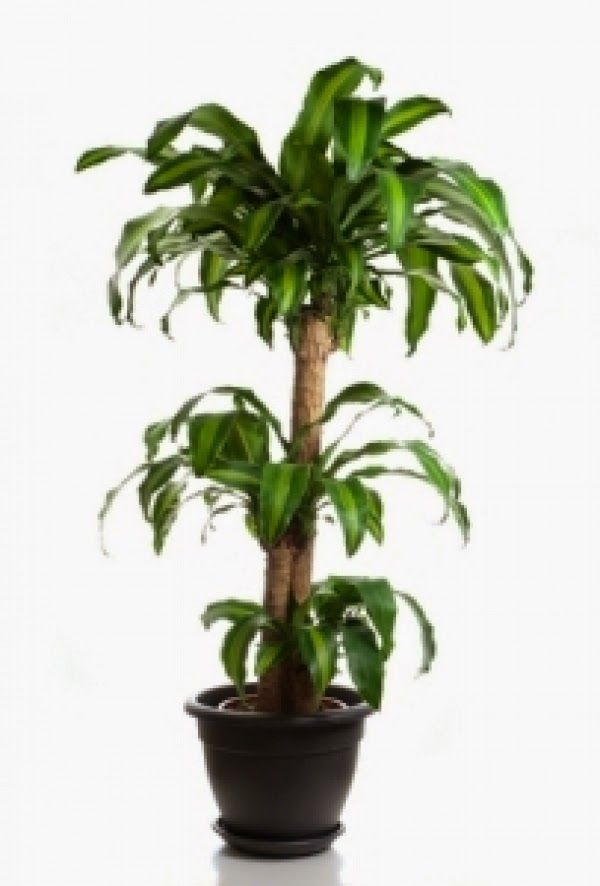 1000 ideas about tropical house plants on pinterest large indoor plants house plants and - Large plants for indoors ...