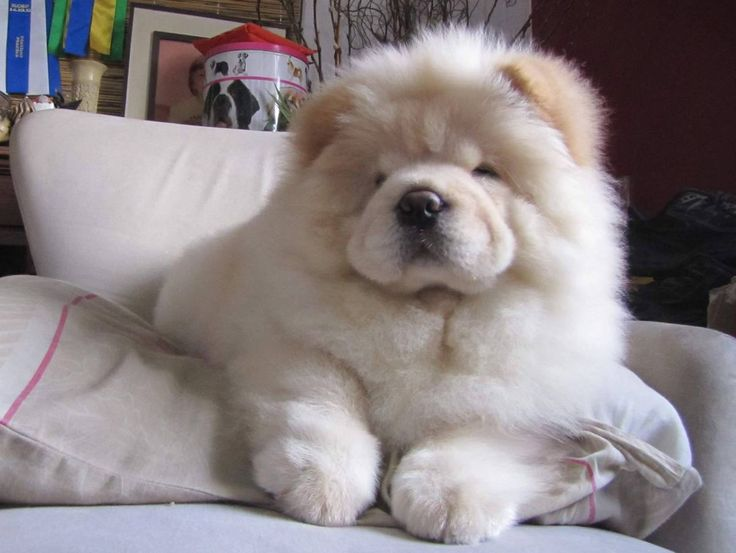 Cream chow- Gorgeous !!! Look at the size of those paws !!! Check more at http://hrenoten.com