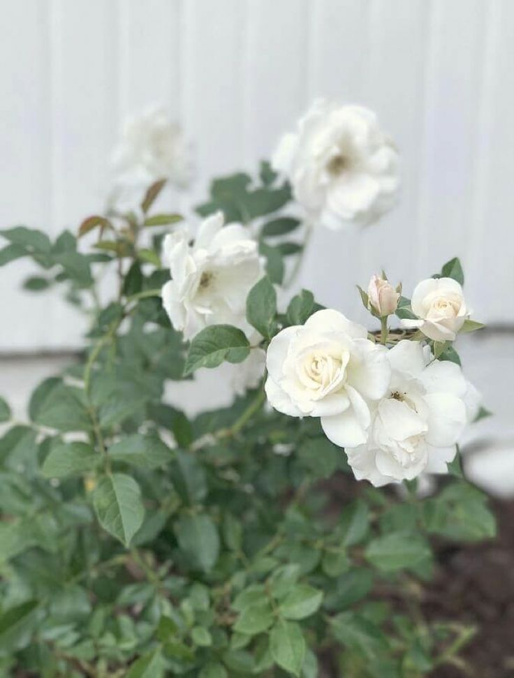 White Garden Rose 364 best my soulful home - a white garden images on pinterest